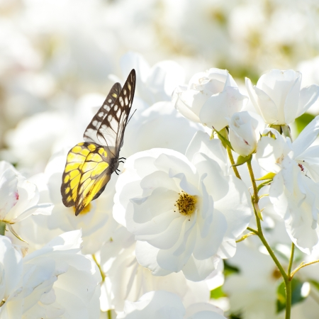 yellow butterfly: Butterfly on white flower Stock Photo