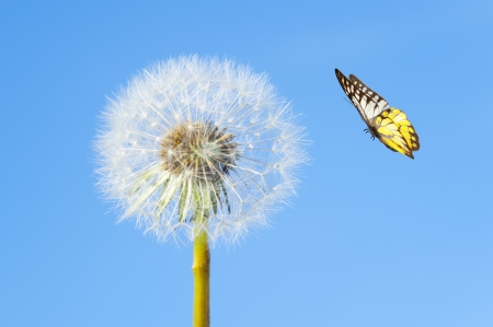 Butterfly and dandelion flower photo