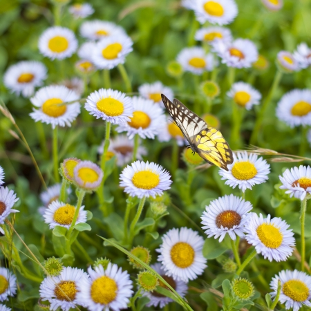 Butterfly and purple chamomile flower in summer scene photo