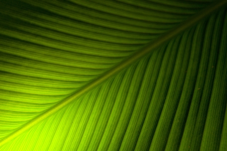 Banana Leaf texture photo