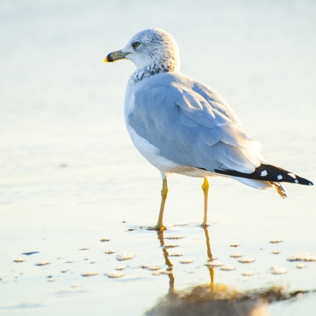wingspread: Seagull stand on sandy beach