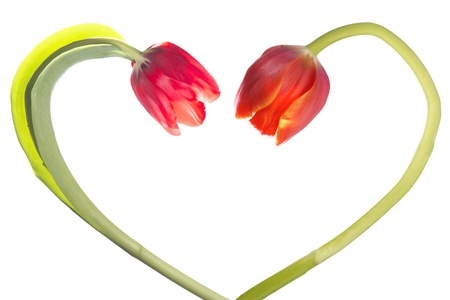 Tulip flower form heart shape photo