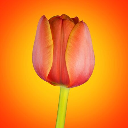 Orange tulip flower photo
