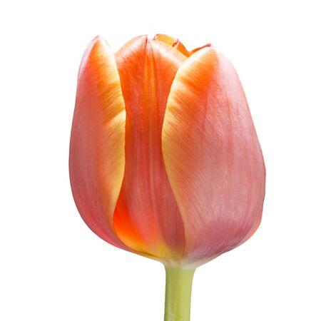 beautiful red tulips close up: Orange tulip flower Stock Photo