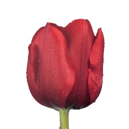 Close up on red tulip flower photo