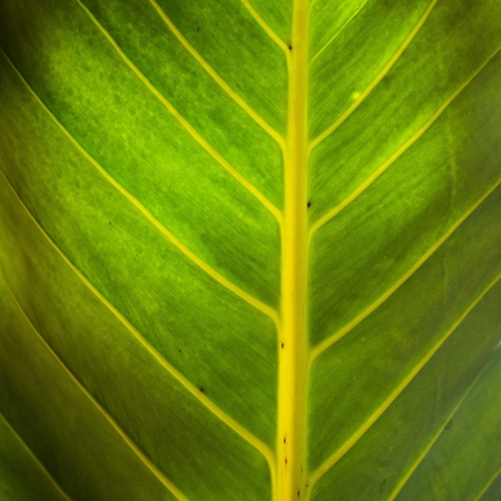 Close up on banana leaf photo