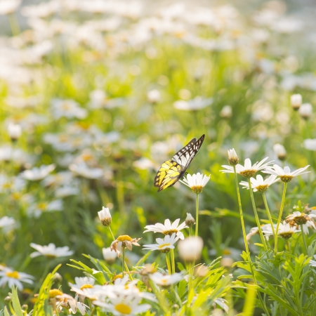 White Daisy flowers with butterfly photo