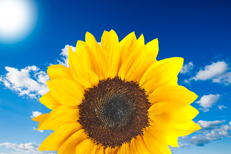 Sunflower with cloudy blue sky background photo