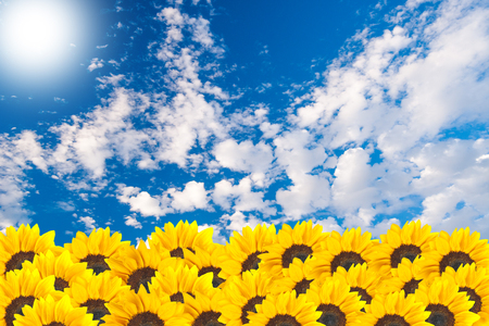 Sunflowers with cloudy blue sky background photo