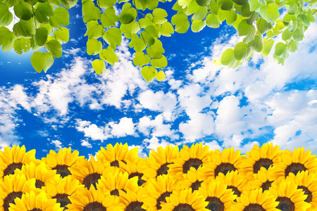 Sunflowers with green leaves photo