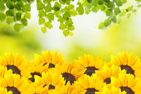 Sunflower with green leaf photo