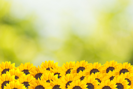 Sunflowers with summer scene background photo