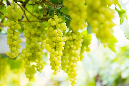 Vineyard Grapes photo