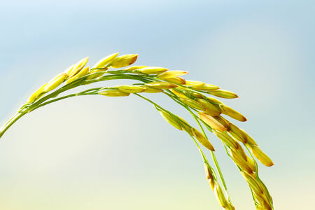 Close Up of Rice in Field photo