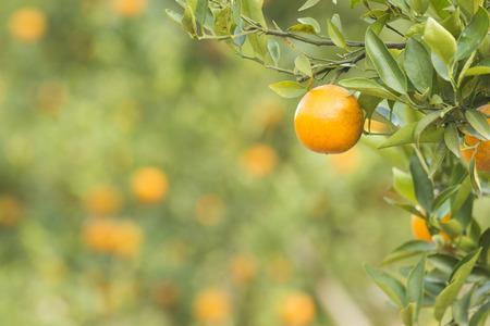 tangerine tree: Orange Field. Close up on orange with blur background Stock Photo