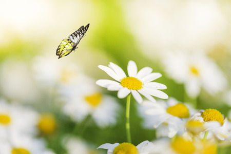 White Daisy Flower With Butterfly Stock Photo