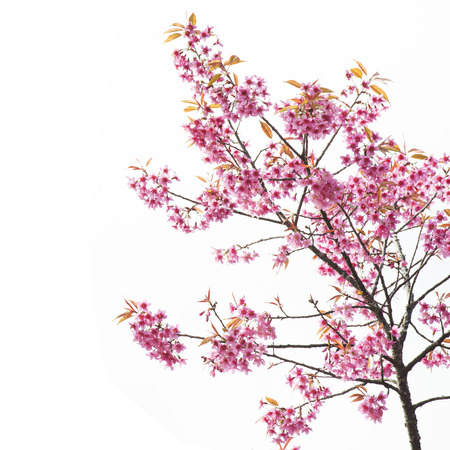 spring bud: Sakura Flower or Cherry Blossom with Beautiful Background