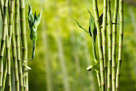 bambu: Bamb? Foto de archivo