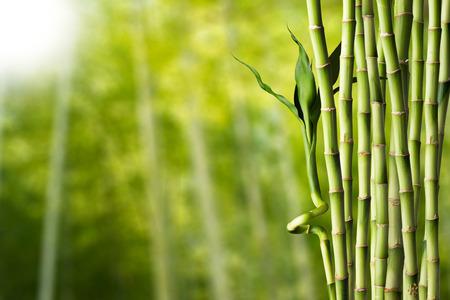 guadua: Bamb? Foto de archivo