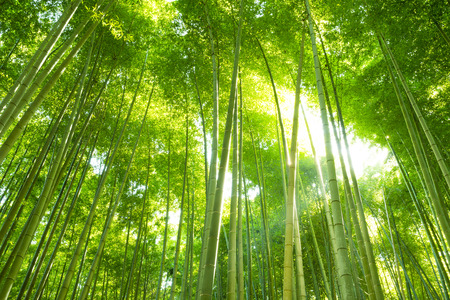 Bamboo forest Stock Photo - 41152746