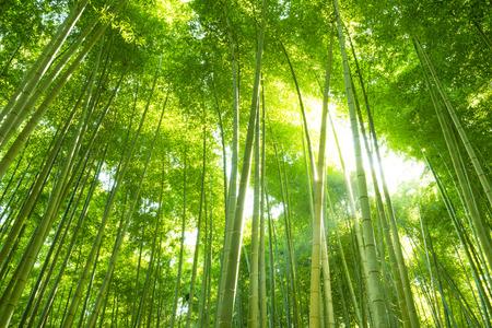 japones bambu: Bosque de bamb? Foto de archivo