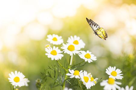 白いデイジーの花を蝶します。