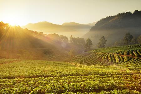 북한의 태국에서 딸기 필드 스톡 콘텐츠