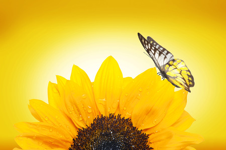 papillon: Sunflower And Butterfly Banque d'images