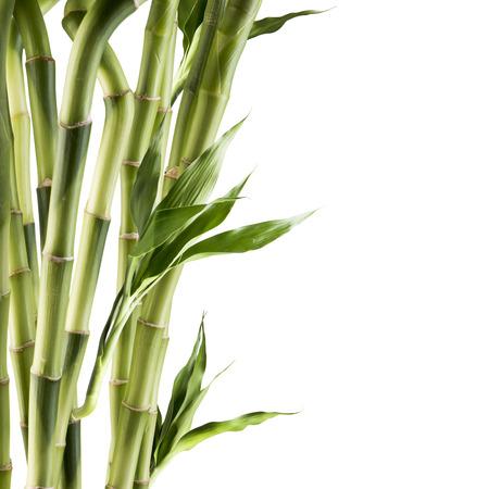 Frischer Bambus Standard-Bild - 44842239