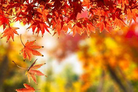 luz roja: Hojas que caen del otoño Foto de archivo
