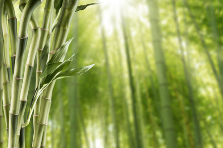 lucky bamboo: Bamboo With Bamboo Forest Background