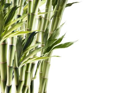 japones bambu: Bamb? Foto de archivo