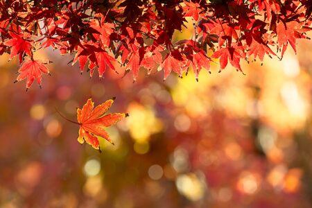 luz roja: Autumn Leafs Foto de archivo