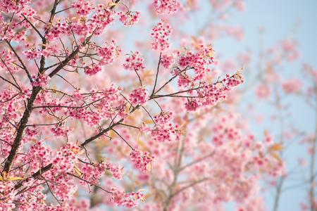 cerezos en flor: Sakura flor o flor de cerezo Con Hermosa naturaleza de fondo Foto de archivo