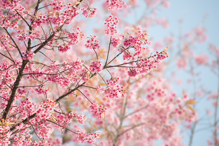cherry blossoms: Sakura Flower or Cherry Blossom With Beautiful Nature Background