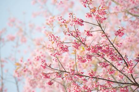 fleur de cerisier: Sakura fleurs ou de fleurs de cerisier avec une nature magnifique fond