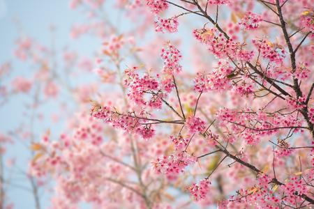 Sakura Cherry Blossom Fiore o con bellissima natura sfondo Archivio Fotografico - 46933060