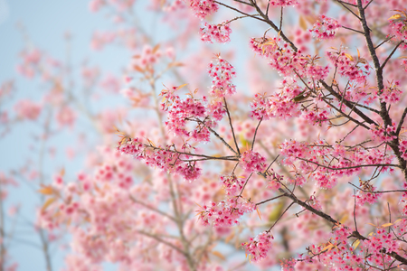 cereza: Sakura flor o flor de cerezo Con Hermosa naturaleza de fondo Foto de archivo