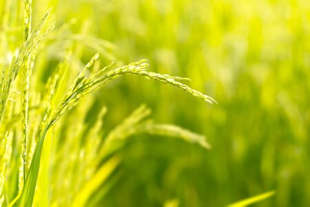 green fields: Rice Field