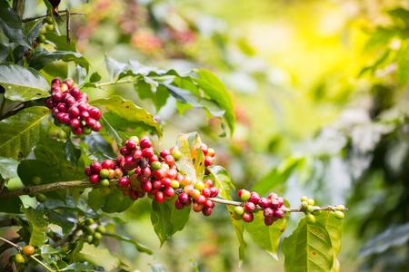 Fresh Coffee Bean With Nature Background 版權商用圖片