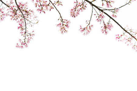 Sakura Flower or Cherry Blossom with White Background