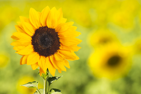 Sunflower With Nature Background 版權商用圖片 - 107909299