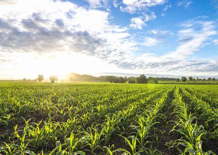 cornfield sun and blue sky in the morning Stok Fotoğraf