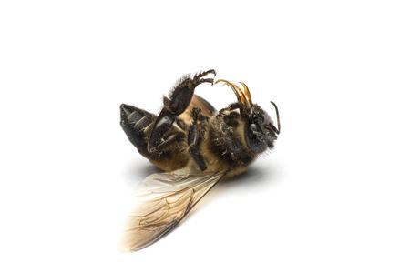 mellifera: dead bee