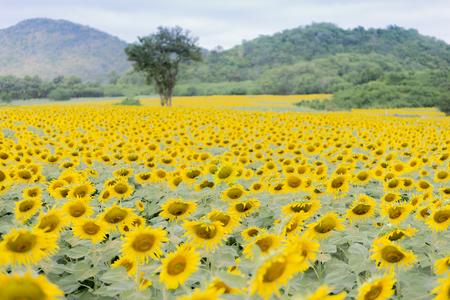 feild: sun flower feild against a blue sky