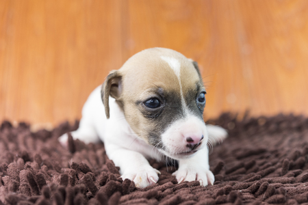 jack russel: jack russel puppy dog on cloth Stock Photo