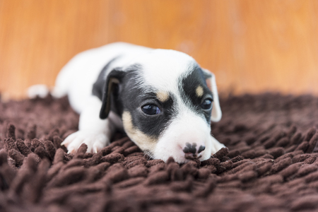 jack russel: Jack russel puppy dog on the cloth