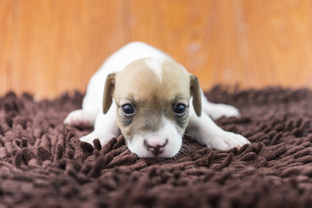 russel: jack russel puppy dog on cloth Stock Photo