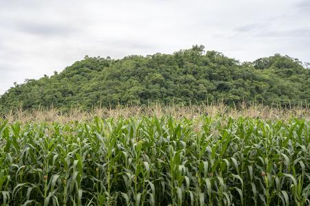 Corn farm Archivio Fotografico - 111266411