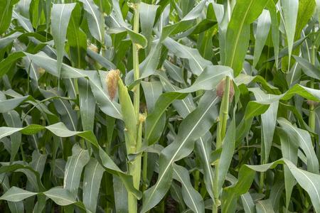 Corn farm Archivio Fotografico - 111266436